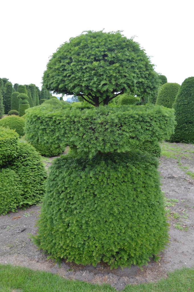Taxus baccata (Yew) bespoke topiary plant (148)