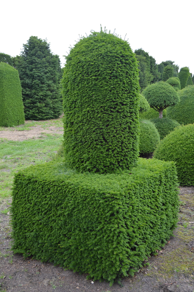 Taxus baccata (Yew) bespoke topiary plant (149)