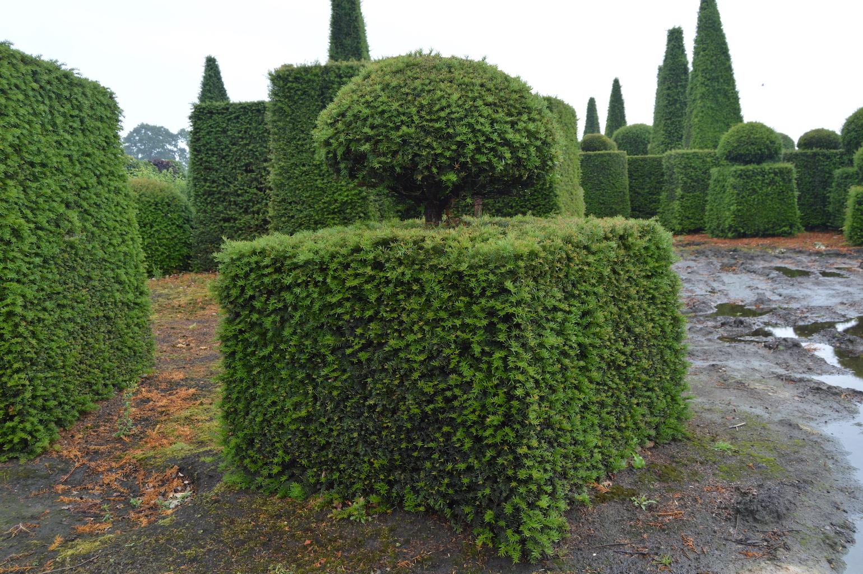 Taxus baccata (Yew) bespoke topiary plant (150)
