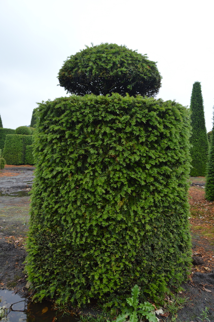 Taxus baccata (Yew) bespoke topiary plant (151)