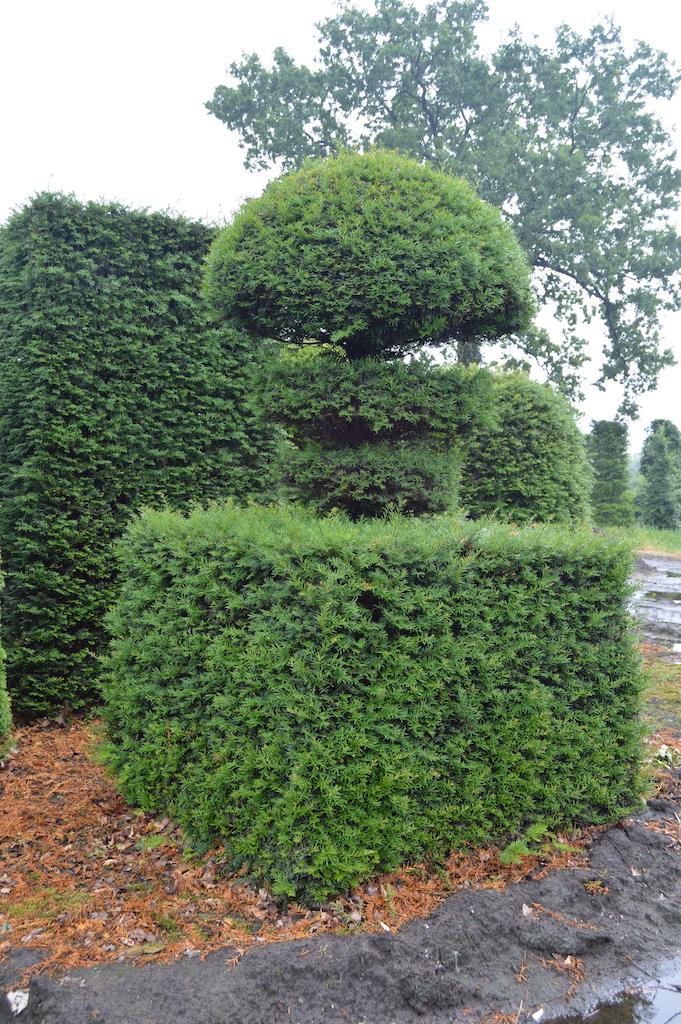 Taxus baccata (Yew) bespoke topiary plant (153)