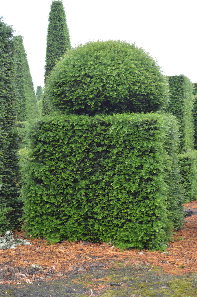 Taxus baccata (Yew) bespoke topiary plant (154)