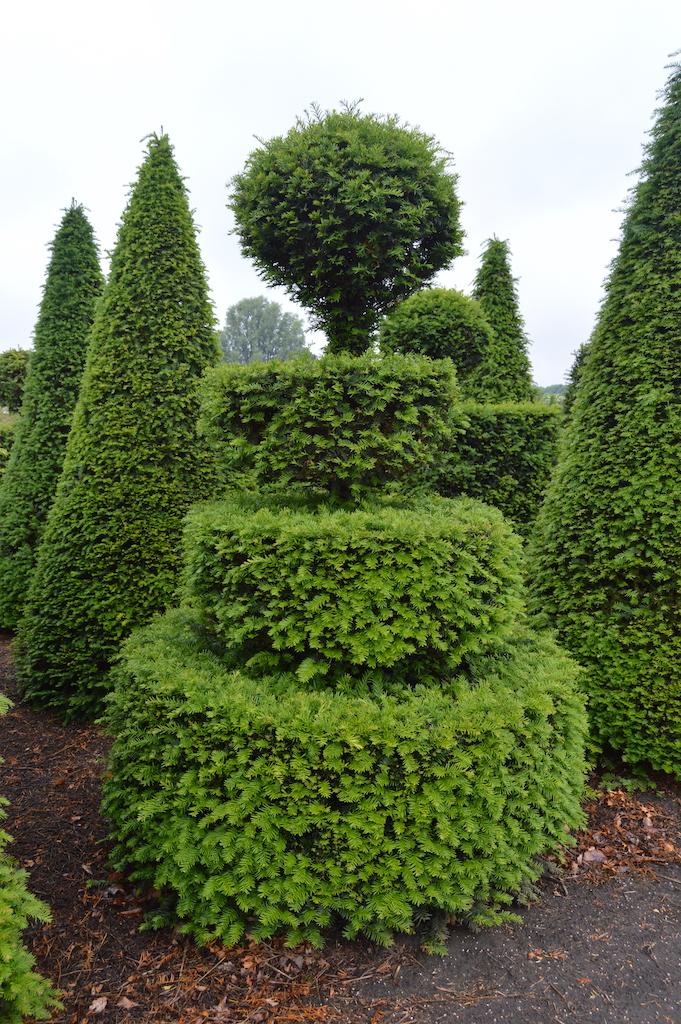 Taxus baccata (Yew) bespoke topiary plant (158)