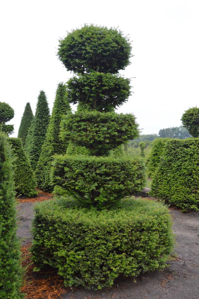 Taxus baccata (Yew) bespoke topiary plant (159)