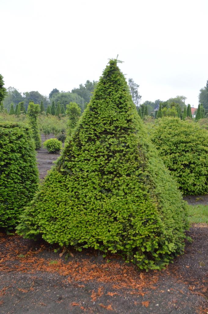 Taxus baccata (Yew) bespoke topiary plant (160)