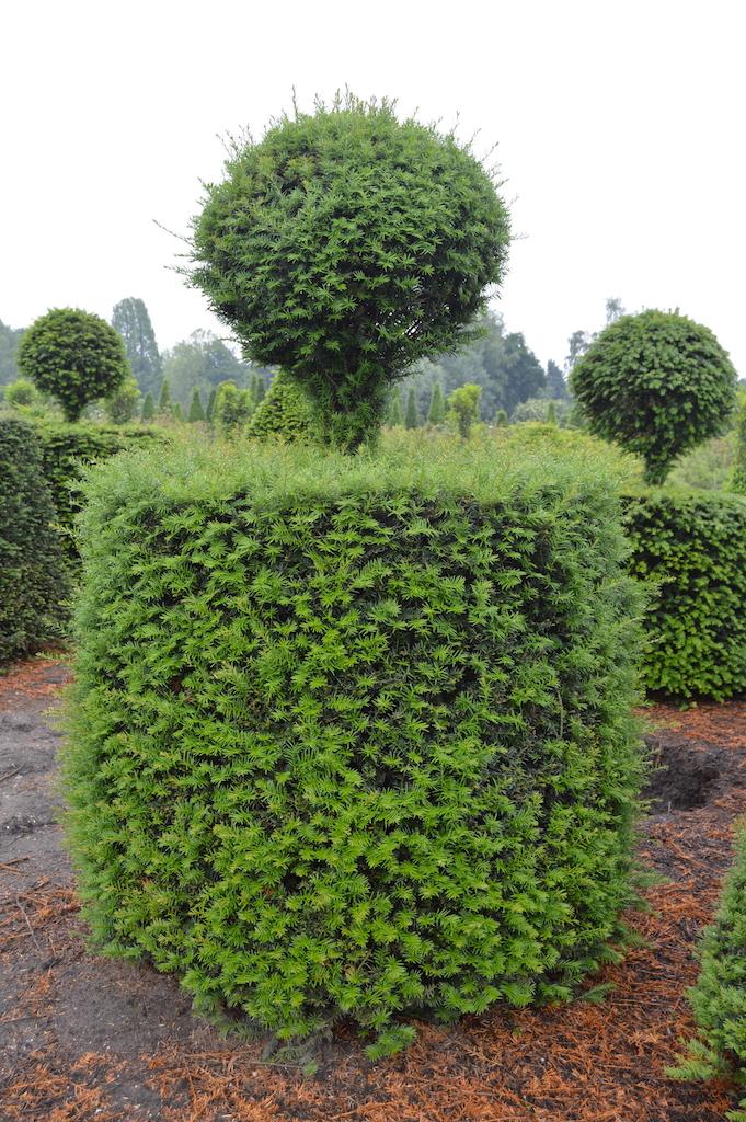 Taxus baccata (Yew) bespoke topiary plant (161)