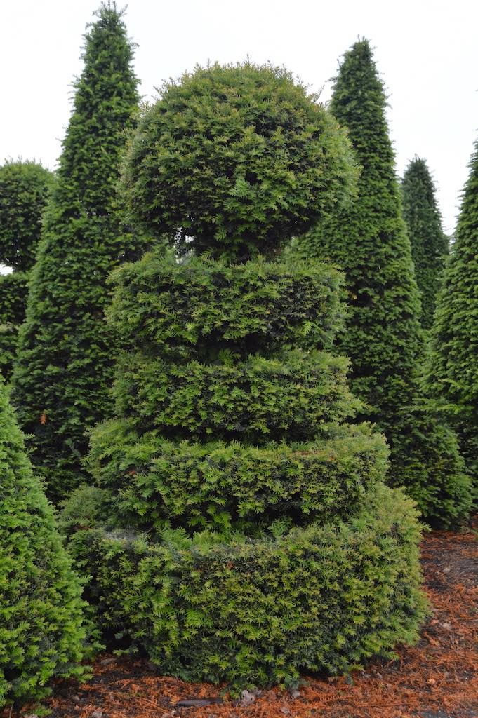 Taxus baccata (Yew) bespoke topiary plant (163)