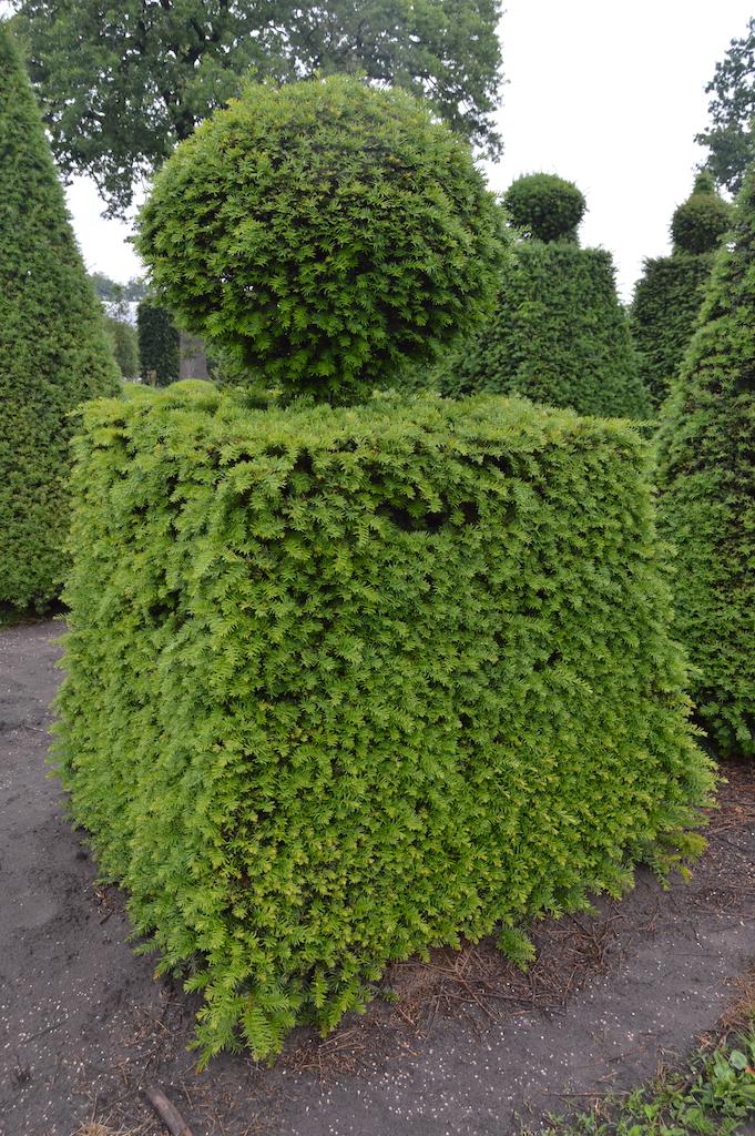 Taxus baccata (Yew) bespoke topiary plant (164)