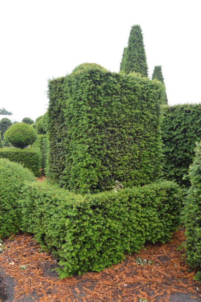 Taxus baccata (Yew) bespoke topiary plant (165)