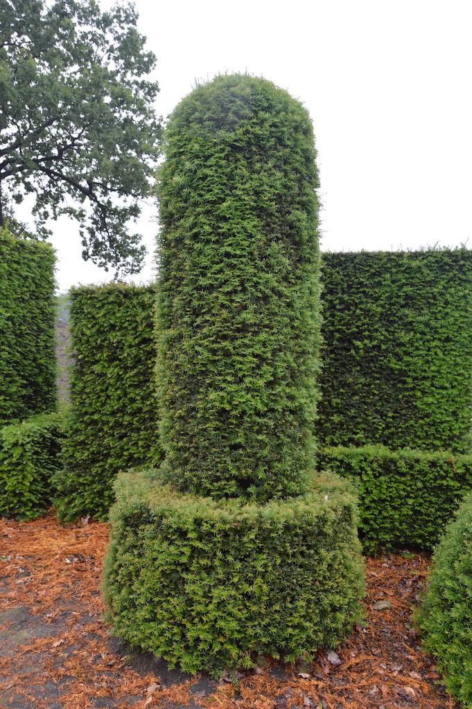 Taxus baccata (Yew) bespoke topiary plant (166)