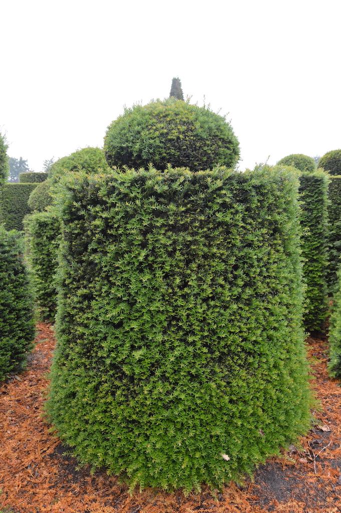 Taxus baccata (Yew) bespoke topiary plant (168)