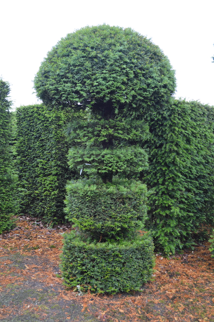 Taxus baccata (Yew) bespoke topiary plant (169)