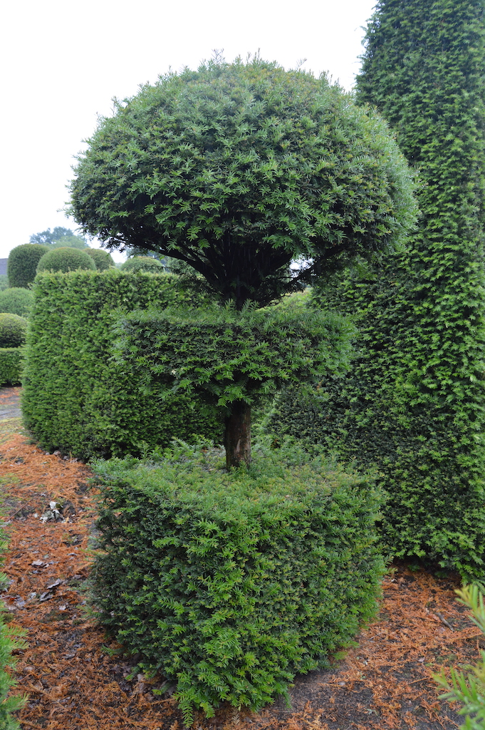 Taxus baccata (Yew) bespoke topiary plant (170)