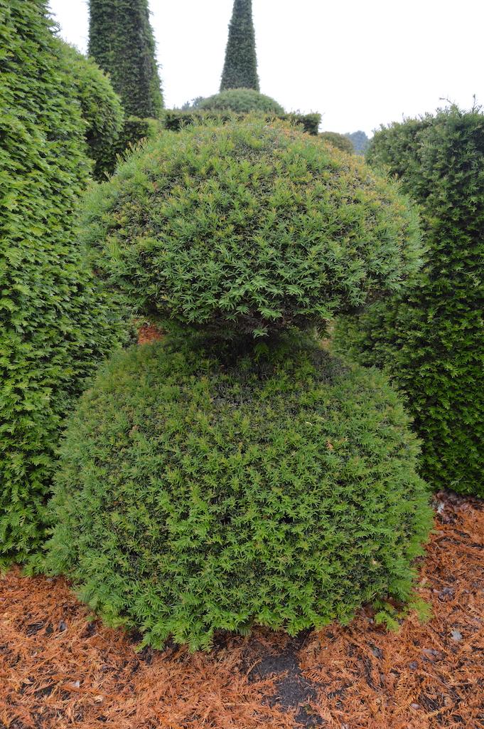 Taxus baccata (Yew) bespoke topiary plant (171)