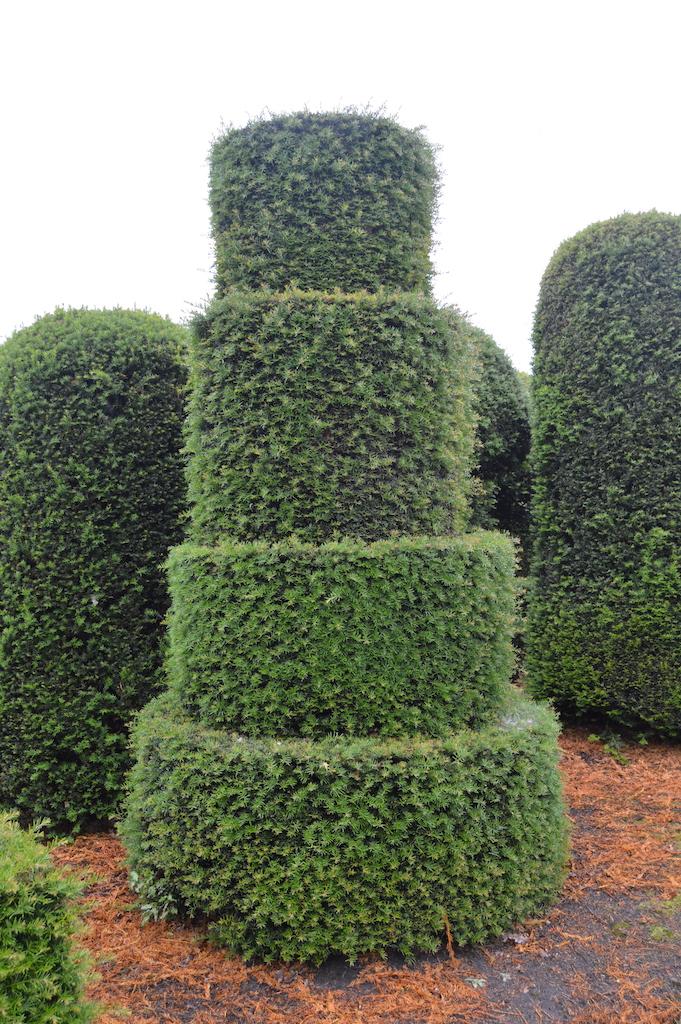 Taxus baccata (Yew) bespoke topiary plant (172)