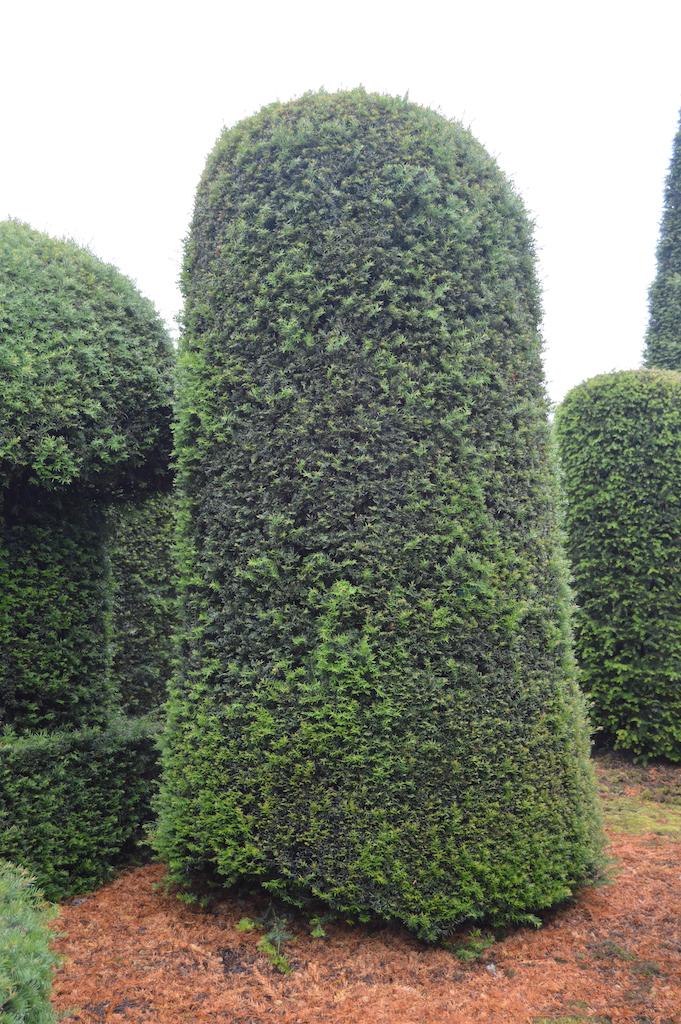 Taxus baccata (Yew) bespoke topiary plant (173)
