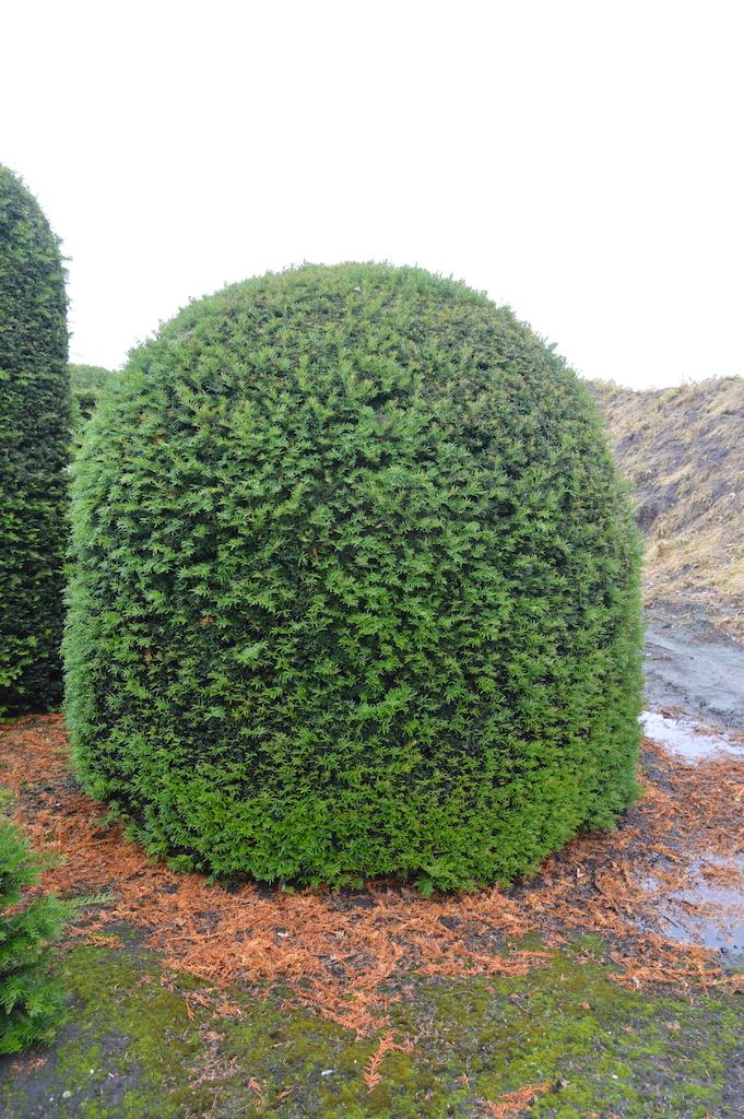 Taxus baccata (Yew) bespoke topiary plant (174)