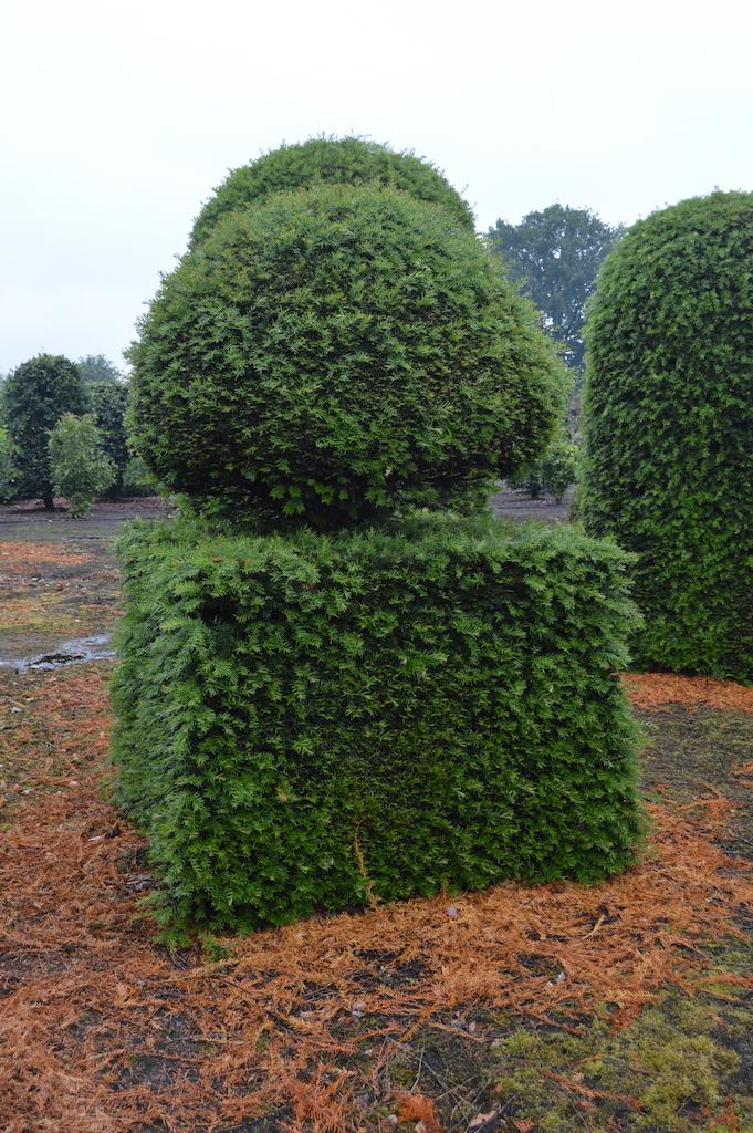 Taxus baccata (Yew) bespoke topiary plant (175)