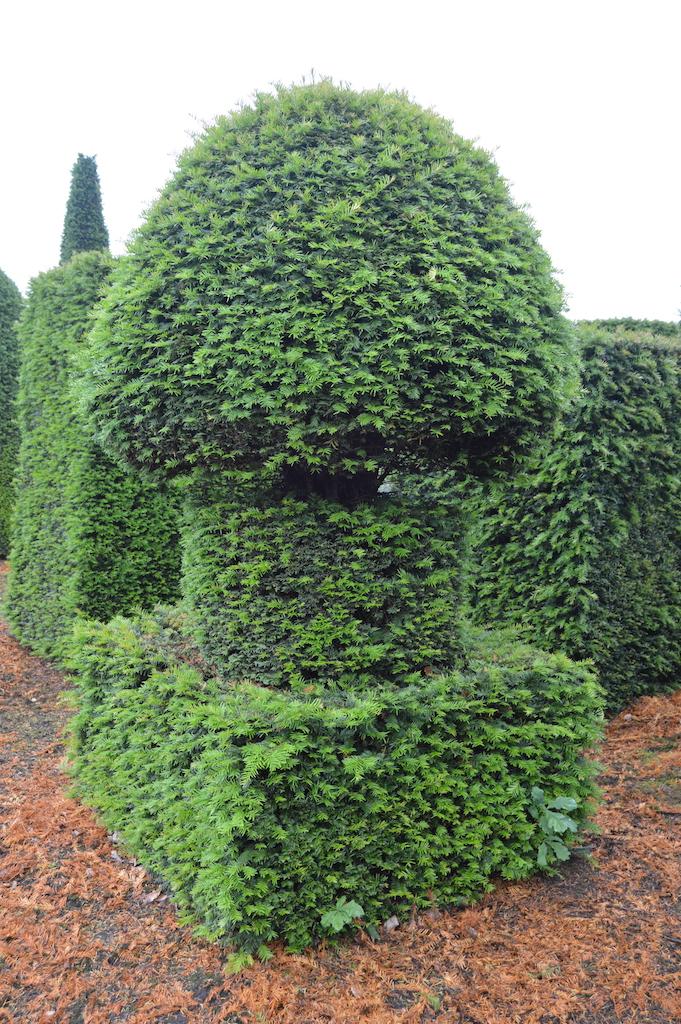 Taxus baccata (Yew) bespoke topiary plant (178)