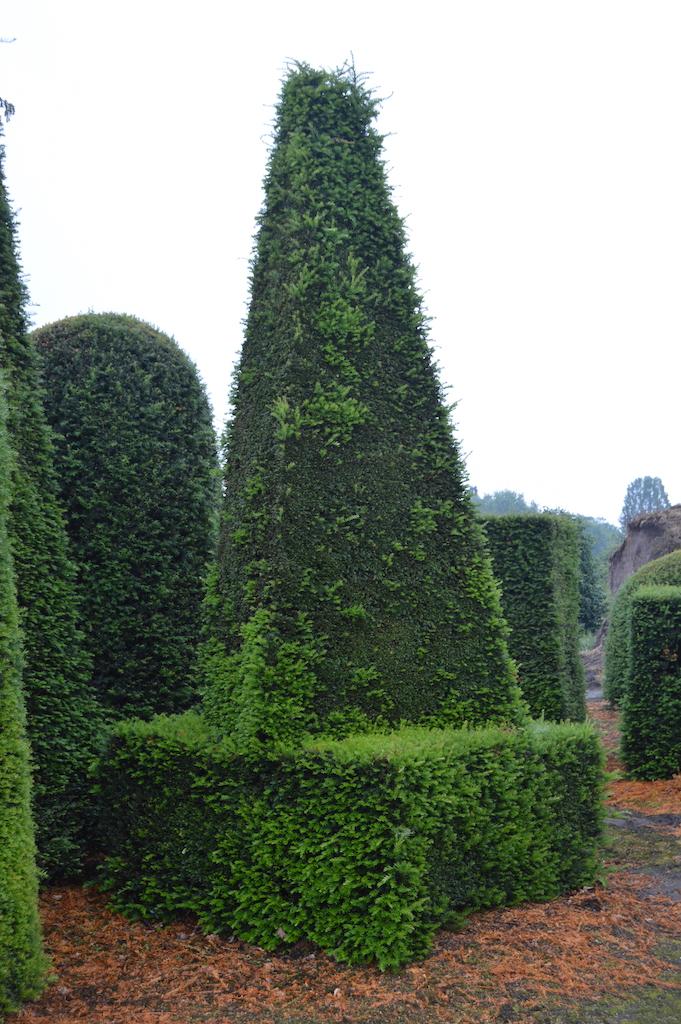 Taxus baccata (Yew) bespoke topiary plant (179)
