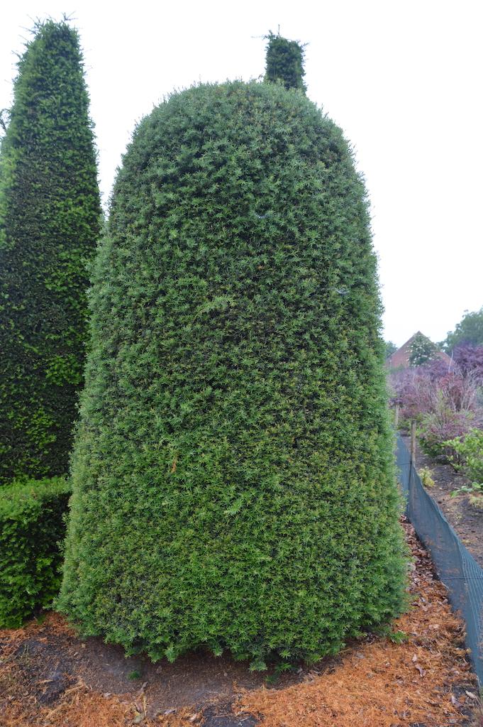 Taxus baccata (Yew) bespoke topiary plant (180)