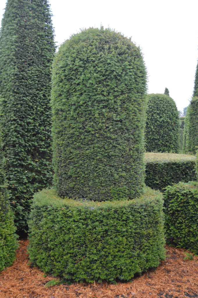 Taxus baccata (Yew) bespoke topiary plant (181)