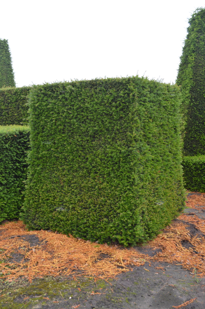 Taxus baccata (Yew) bespoke topiary plant (182)