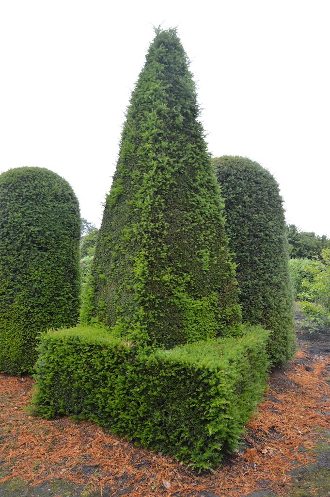 Taxus baccata (Yew) bespoke topiary plant (183)