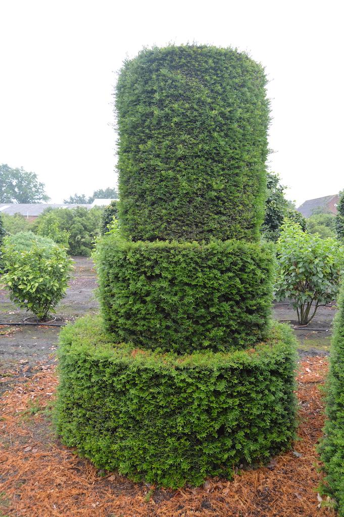 Taxus baccata (Yew) bespoke topiary plant (184)