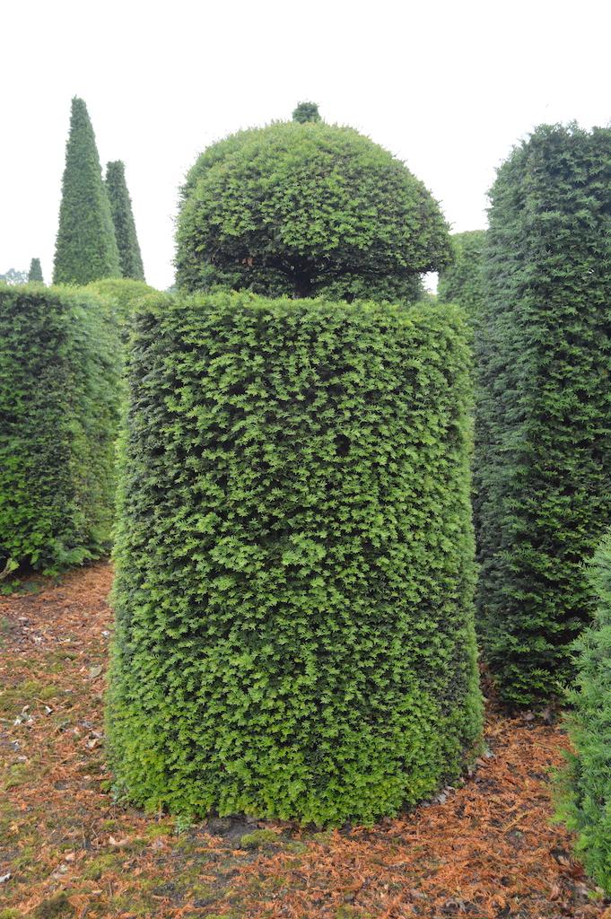 Taxus baccata (Yew) bespoke topiary plant (189)