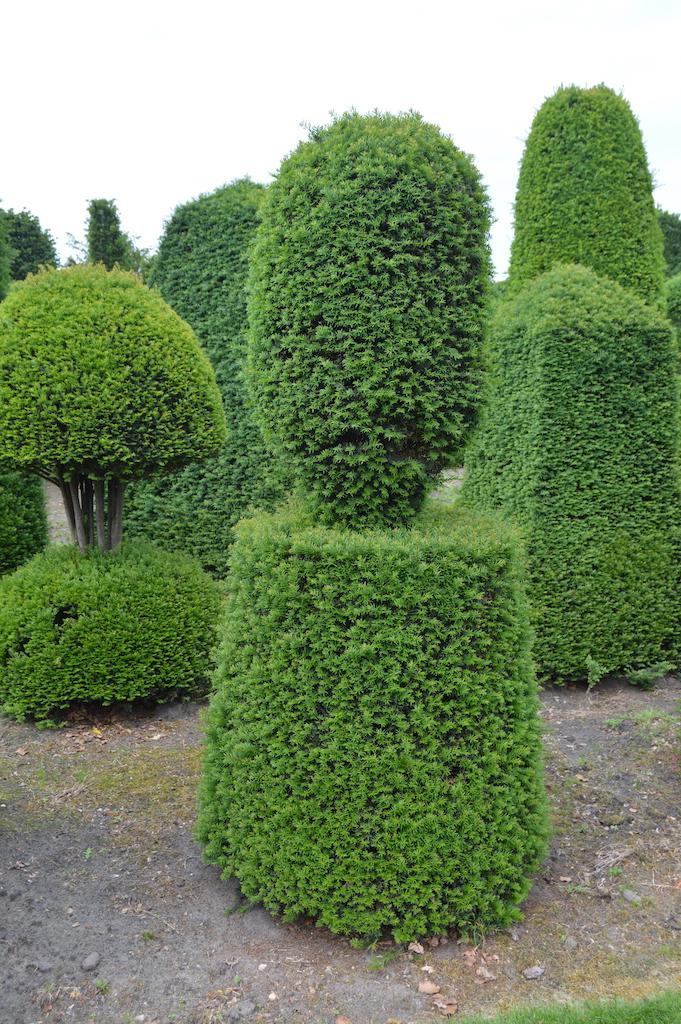 Taxus baccata (Yew) bespoke topiary plant (19)