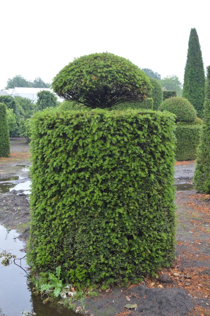 Taxus baccata (Yew) bespoke topiary plant (190)