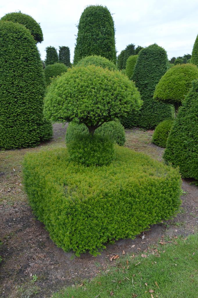 Taxus baccata (Yew) bespoke topiary plant (21)