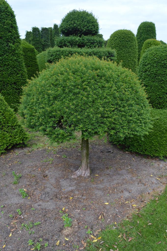 Taxus baccata (Yew) bespoke topiary plant (25)