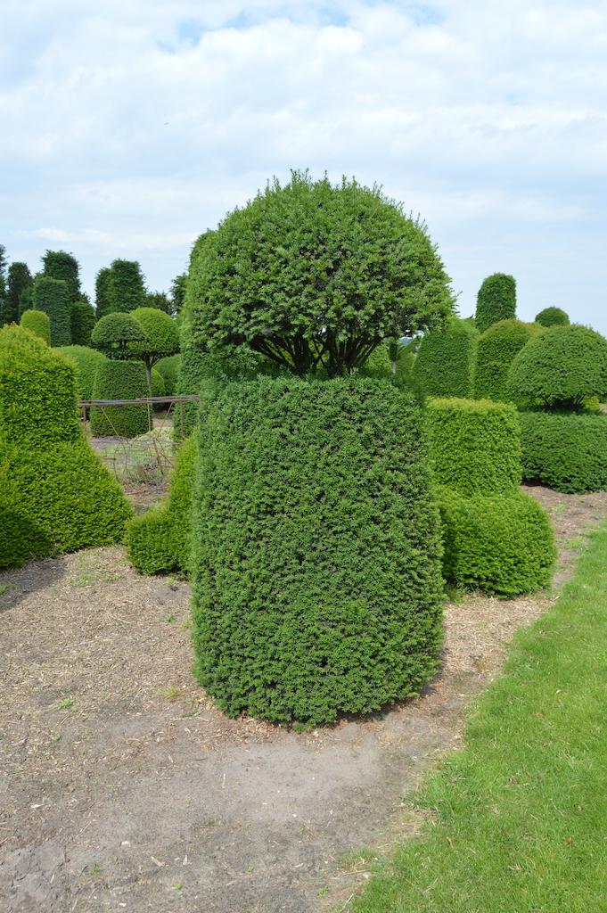 Taxus baccata (Yew) bespoke topiary plant (27)