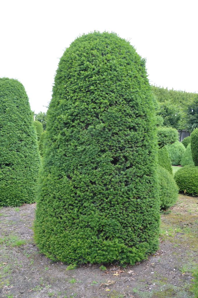Taxus baccata (Yew) bespoke topiary plant (3)