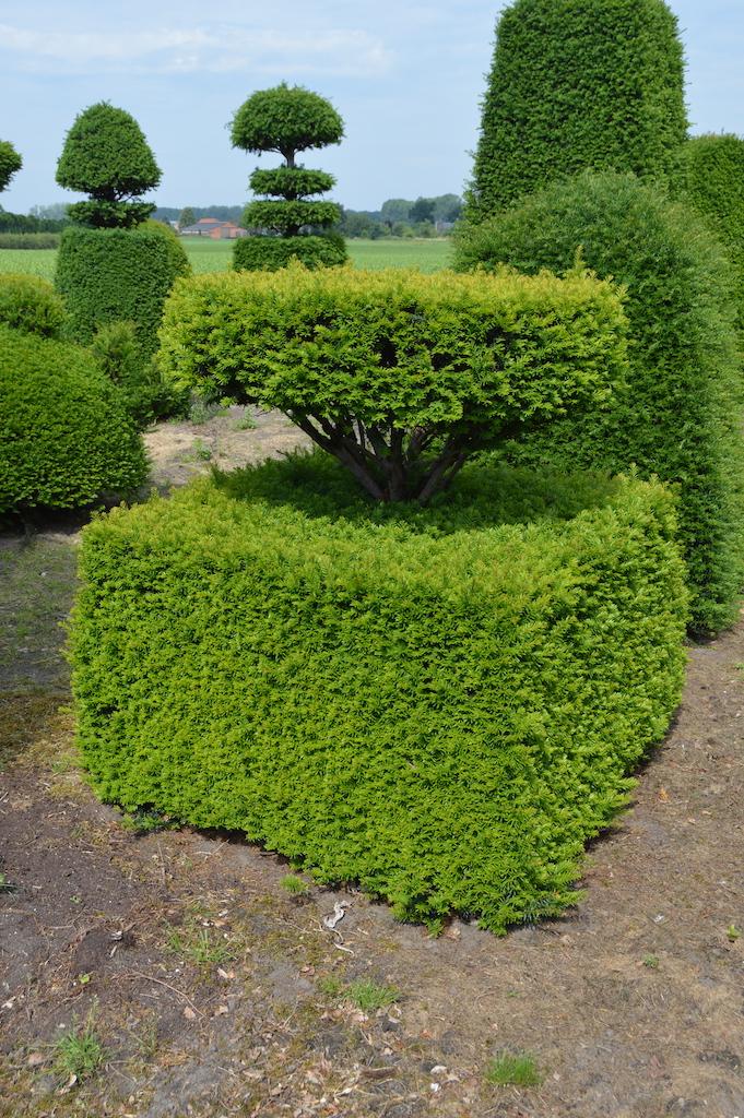Taxus baccata (Yew) bespoke topiary plant (33)