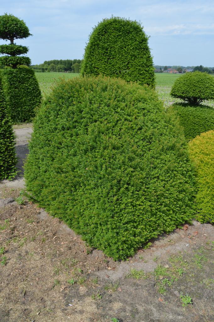 Taxus baccata (Yew) bespoke topiary plant (34)