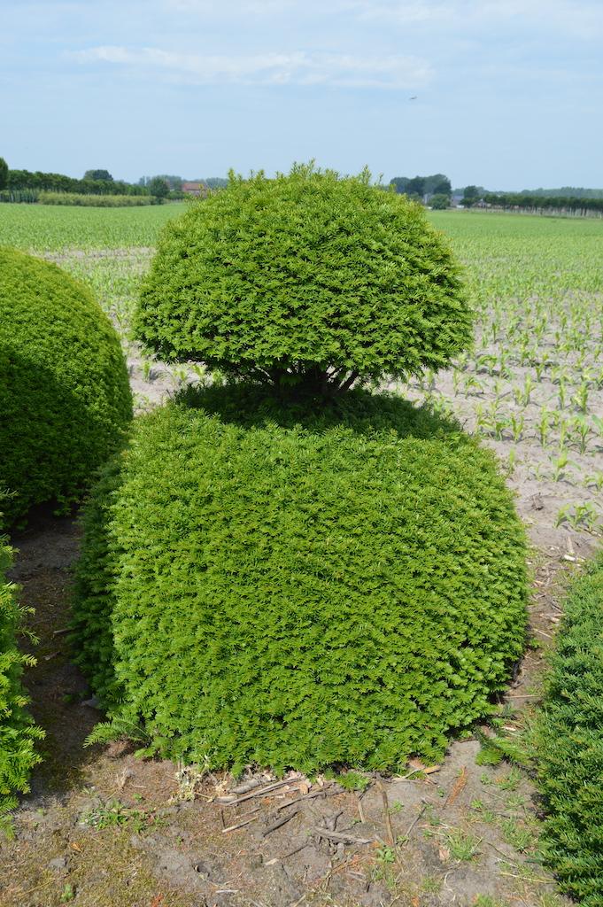 Taxus baccata (Yew) bespoke topiary plant (35)