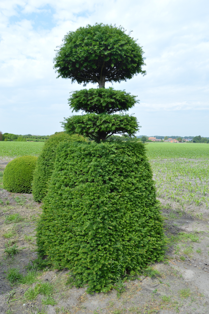 Taxus baccata (Yew) bespoke topiary plant (36)