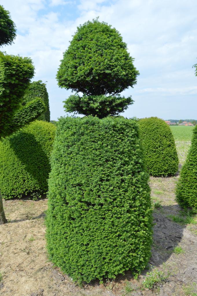 Taxus baccata (Yew) bespoke topiary plant (37)
