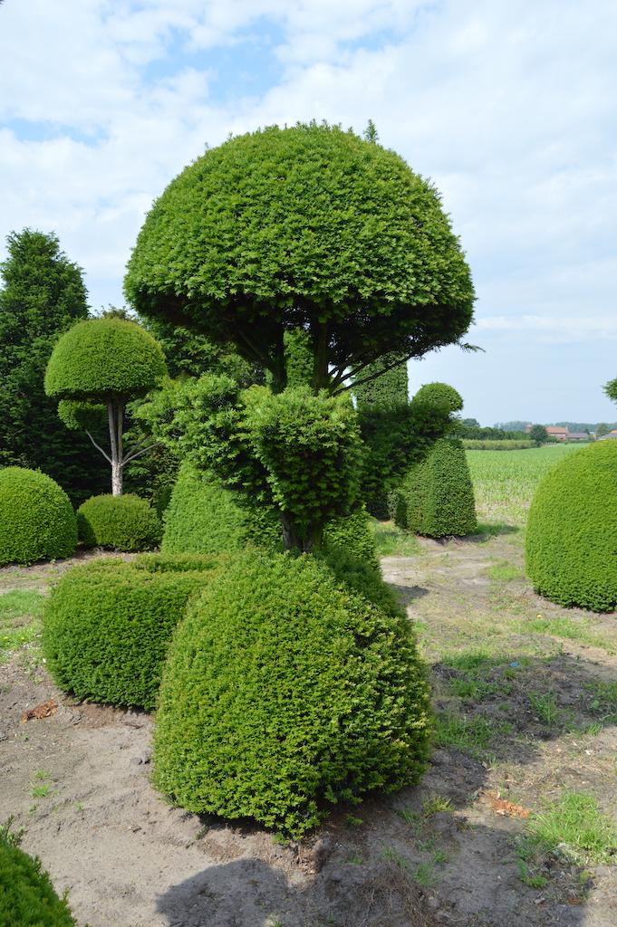 Taxus baccata (Yew) bespoke topiary plant (39)