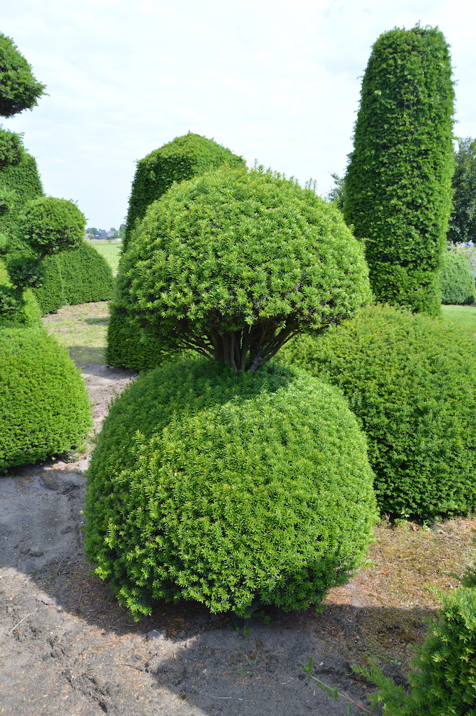 Taxus baccata (Yew) bespoke topiary plant (41)