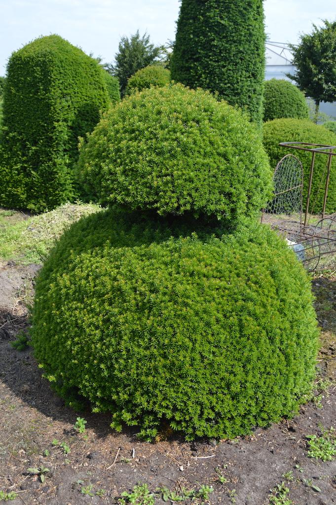 Taxus baccata (Yew) bespoke topiary plant (44)