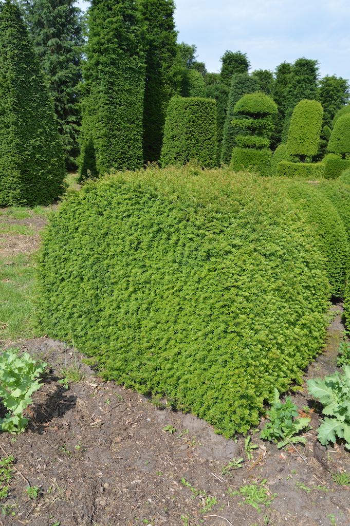 Taxus baccata (Yew) bespoke topiary plant (45)