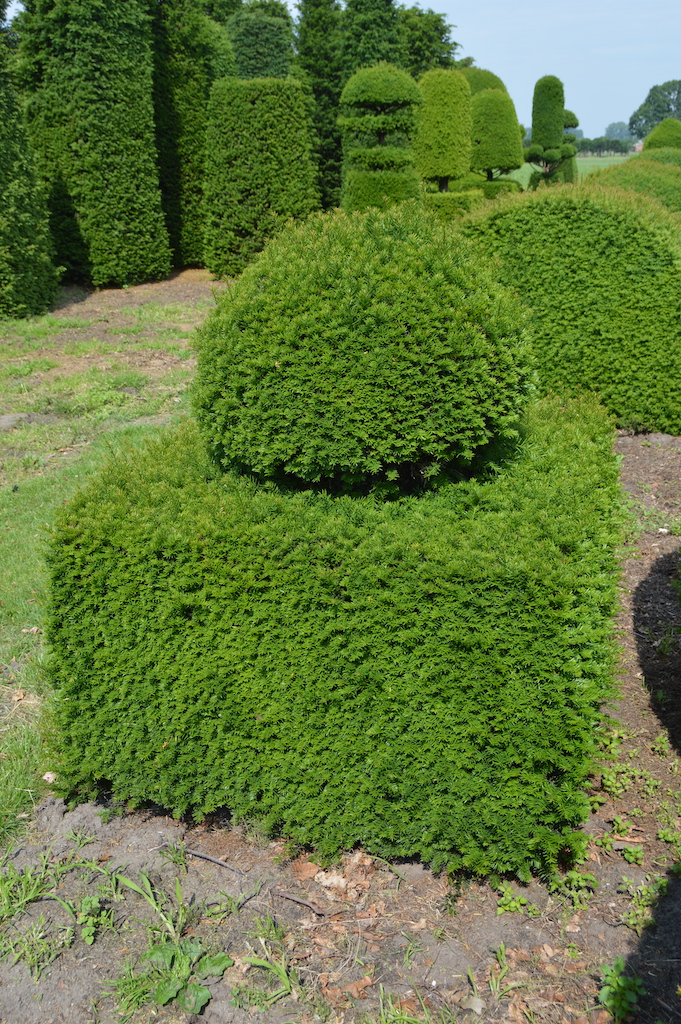 Taxus baccata (Yew) bespoke topiary plant (46)