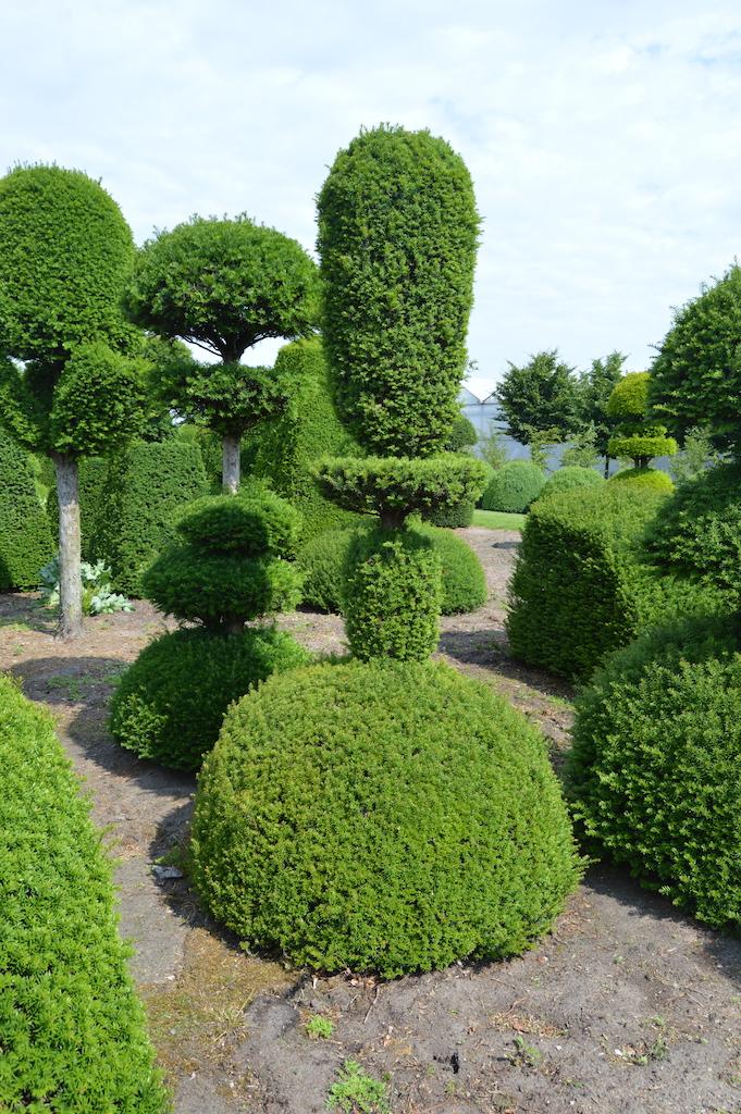 Taxus baccata (Yew) bespoke topiary plant (47)