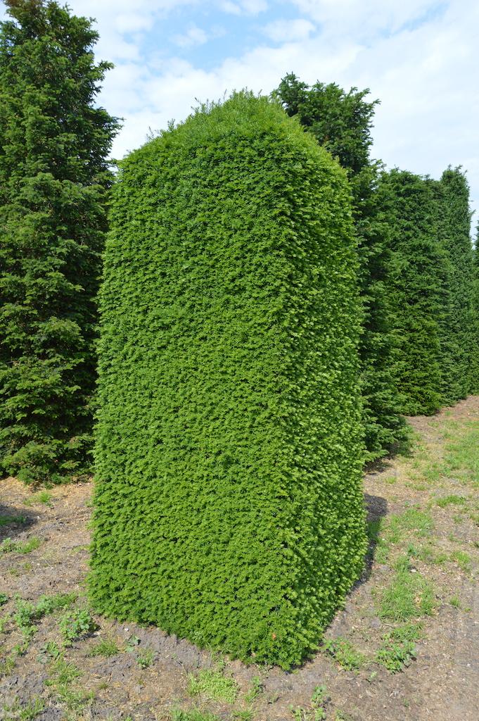 Taxus baccata (Yew) bespoke topiary plant (49)