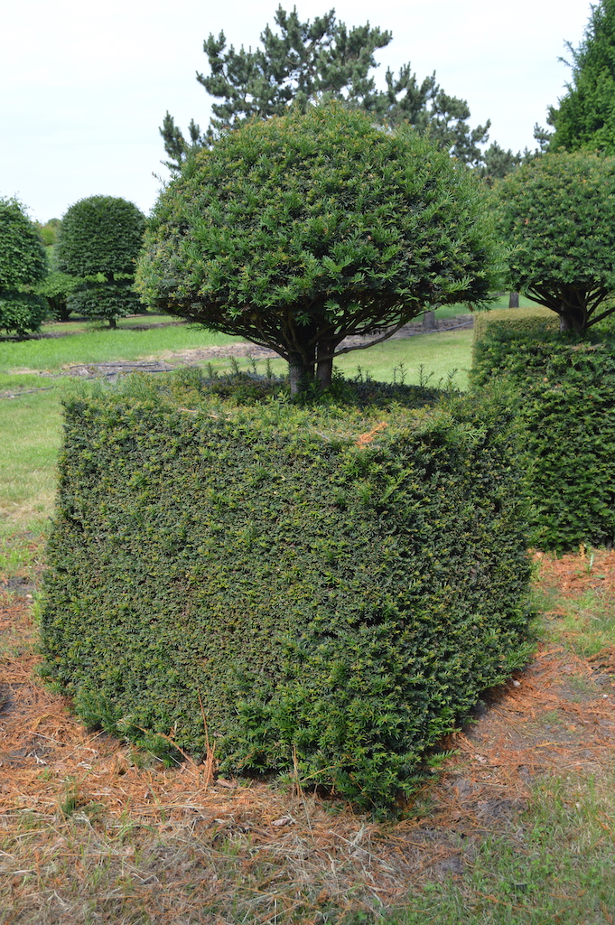 Taxus baccata (Yew) bespoke topiary plant (50)