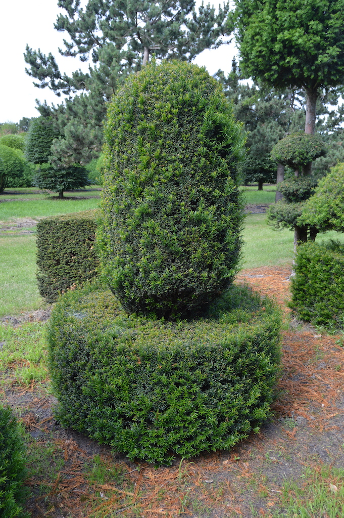 Taxus baccata (Yew) bespoke topiary plant (52)
